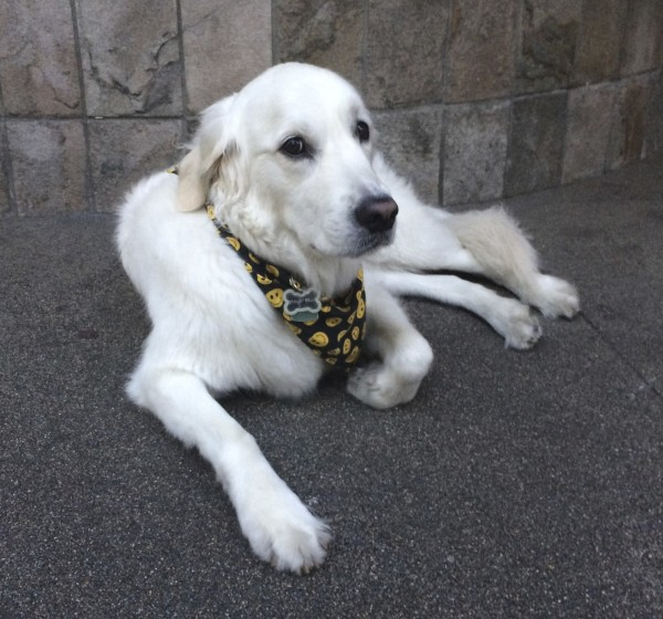 English Cream Golden Retriever Wearing A Bandana With Smiley Faces On It