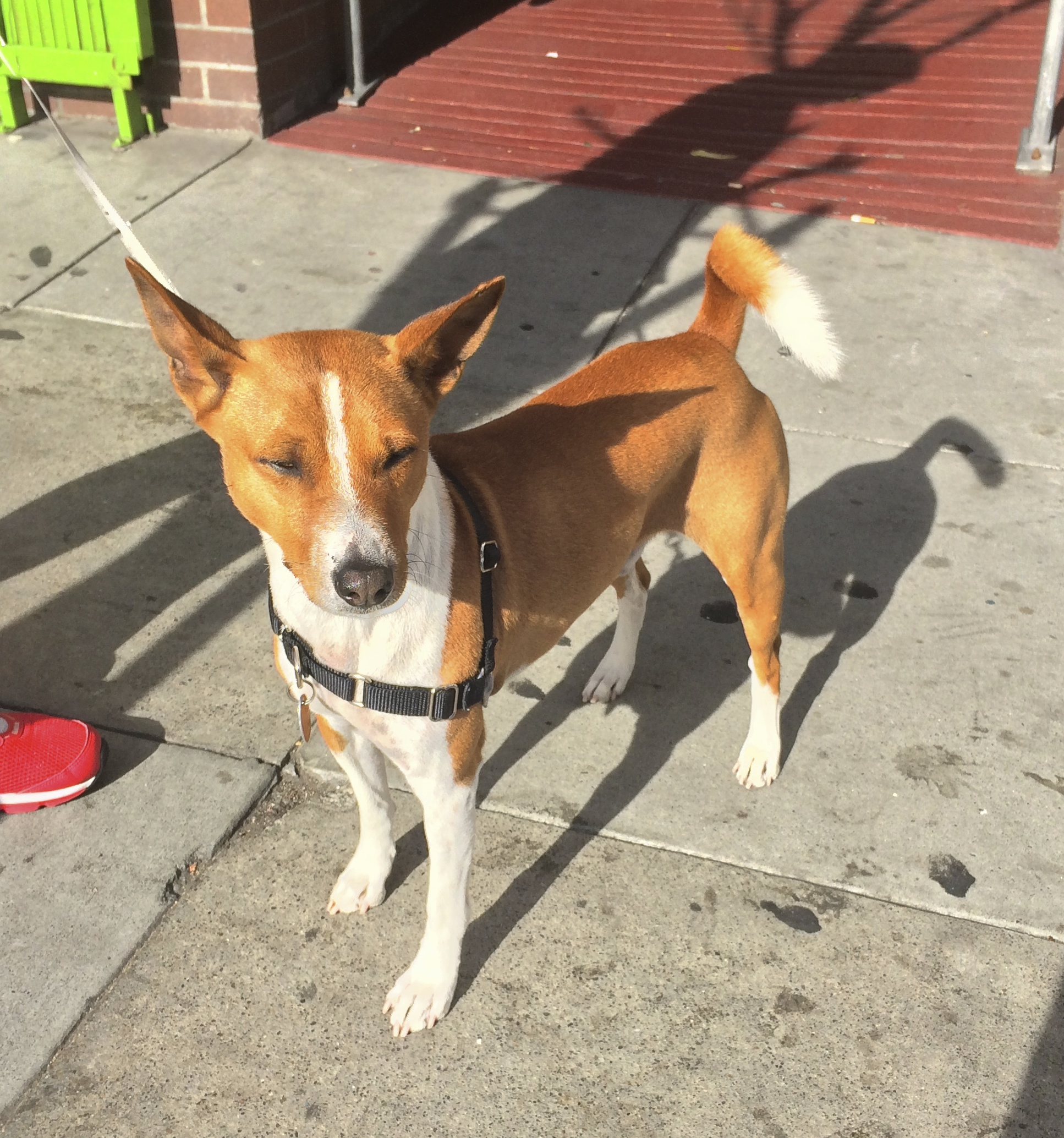 Red and White Basenji With Eyes Closed