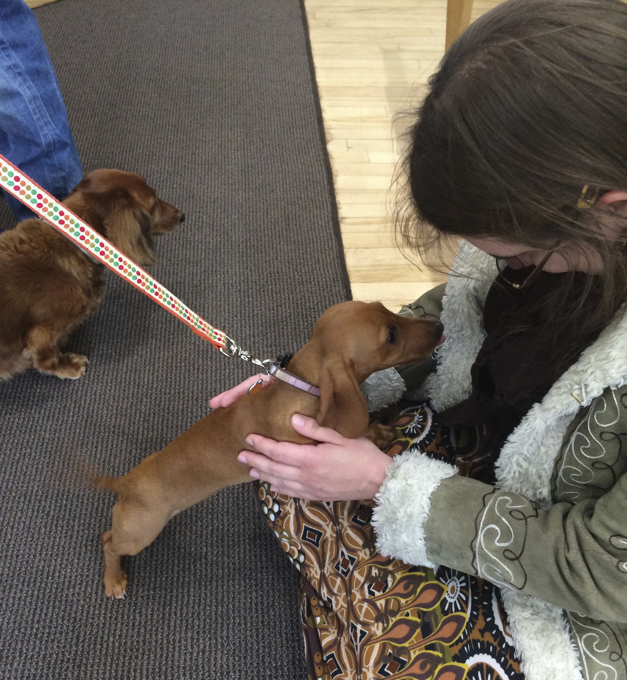 Long-Haired Miniature Dachshund and Short-Haired Miniature Dachshund Puppy