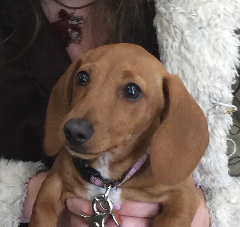 Miniature Dachshund Puppy Face