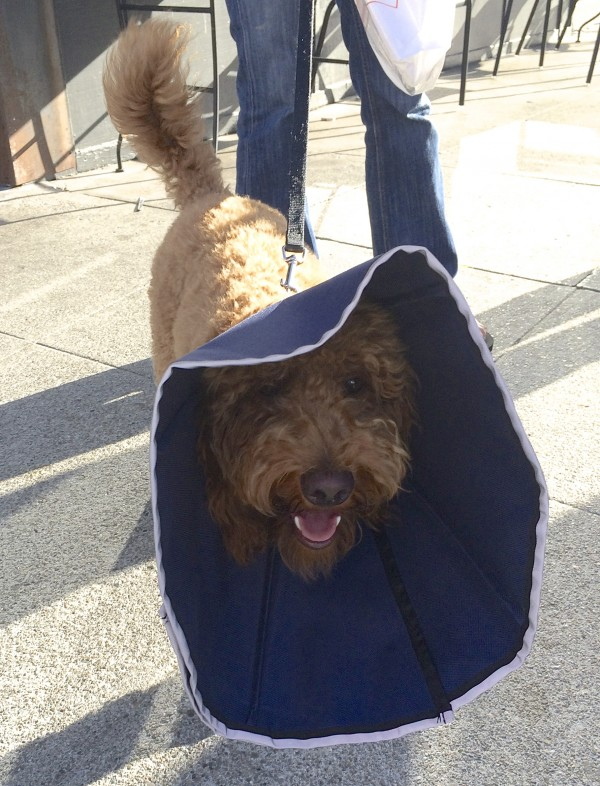 Brown Labradoodle in a Flexible Cone of Shame