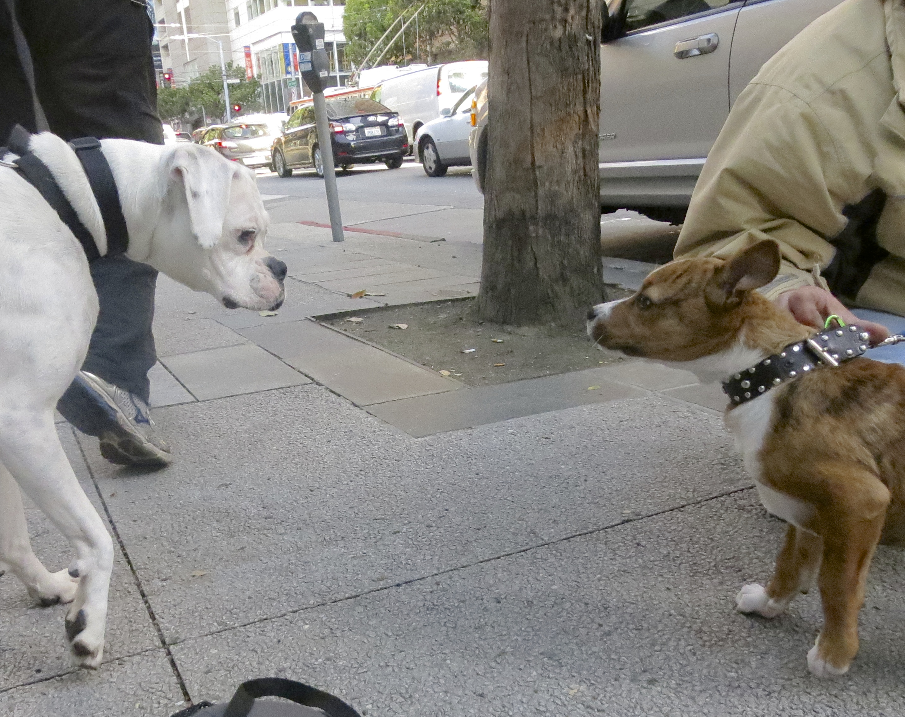 White Boxer Meets Brindle and White American Pit Bull Terrier/Border Collie Mix Puppy