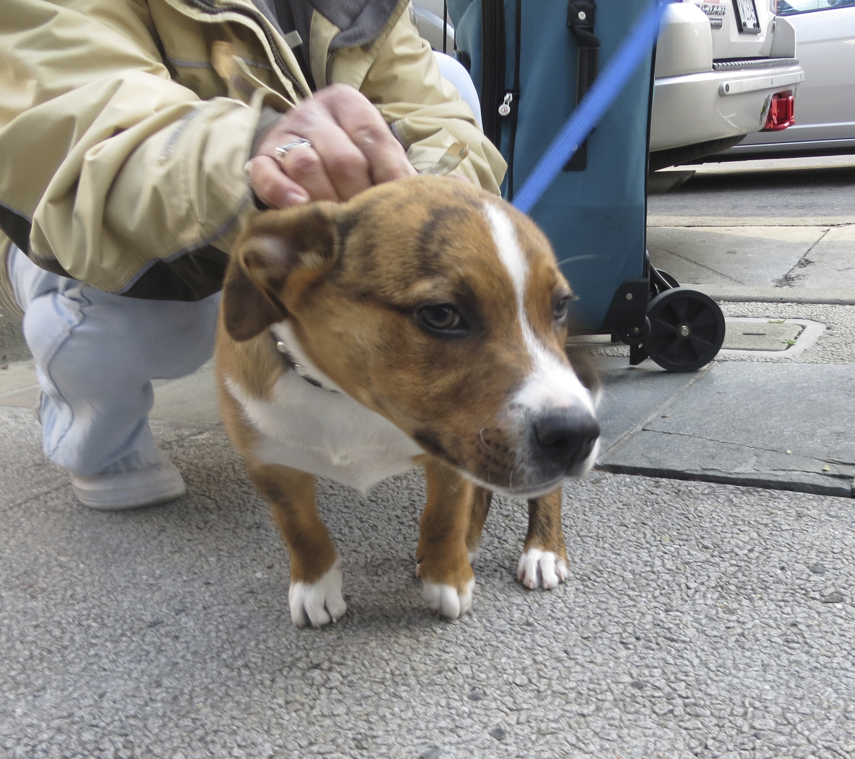 Brindle and White American Pit Bull Terrier/Border Collie Mix Puppy