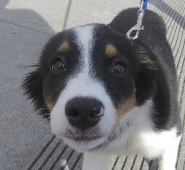 Tricolor Miniature Australian Shepherd Puppy With Pink Spot On Her Nose
