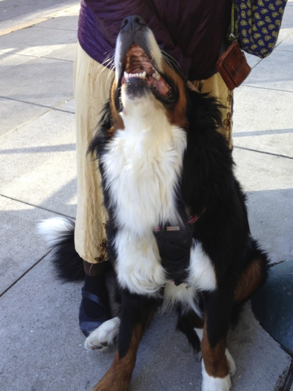 Bernese Mountain Dog Being Goofy