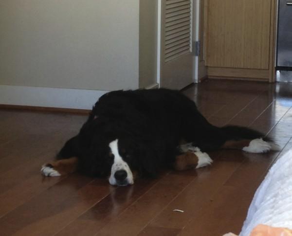 Bernese Mountain Dog Deflated And Sleeping