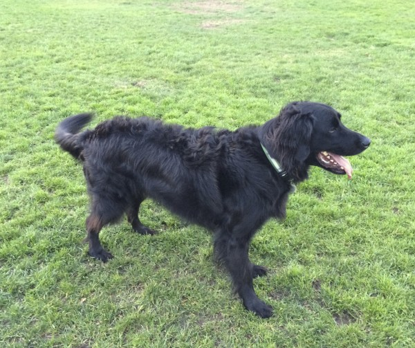 Black Fluffy Golden Retriever/Labrador Retriever Mixed Breed