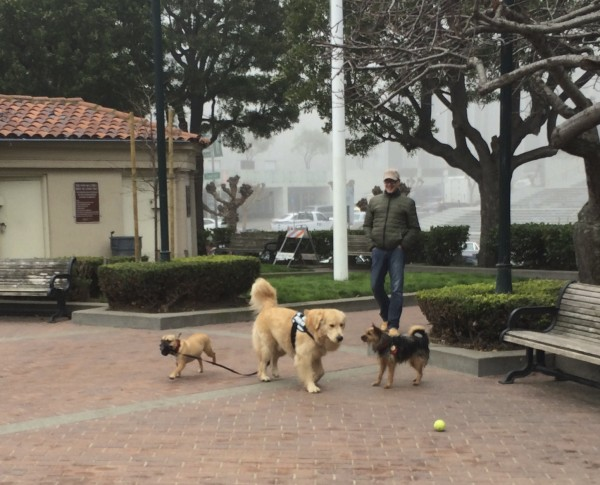 Boston Terrier Walking a Golden Retriever
