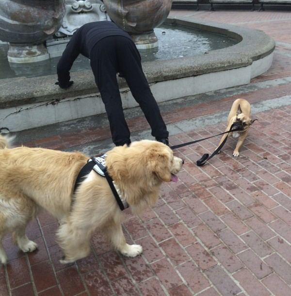 Boston Terrier Taking a Golden Retriever For a Walk