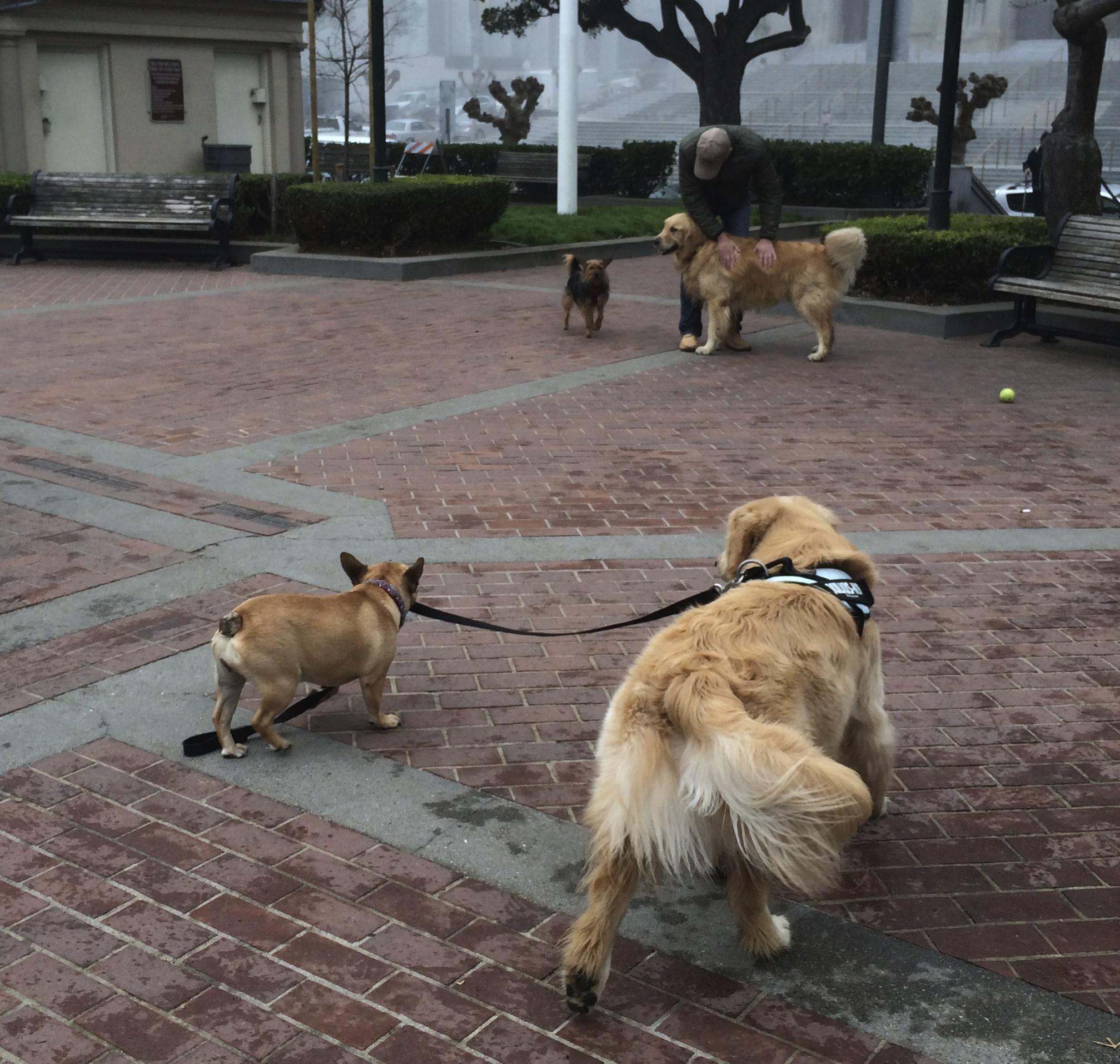 Boston Terrier Taking a Golden Retriever For a Walk