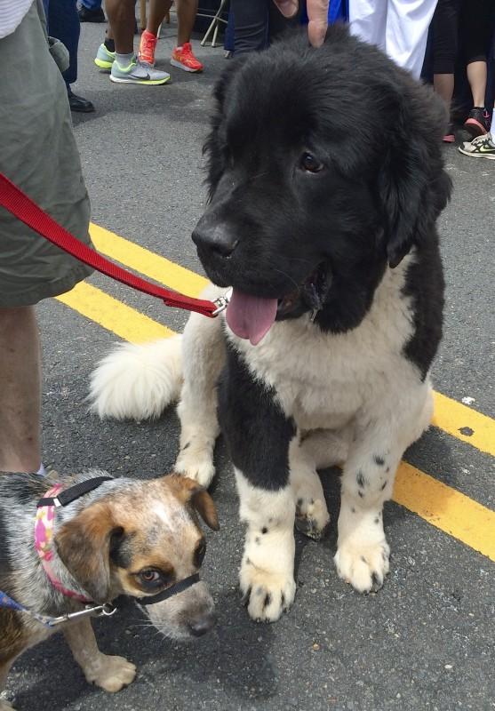 Red Merle Australian Cattle Dog/Beagle Mix and Landseer Newfoundland Dog