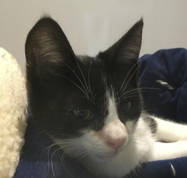 Black and White American Shorthaired Kitten