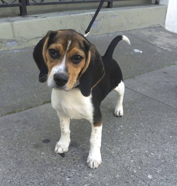 Beagle Puppy Tilting His Head