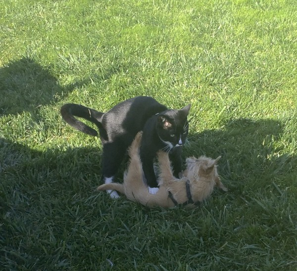 Black Cat With White Socks Playing With Small Scruffy Terrier Mix