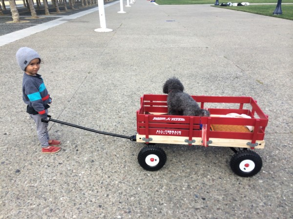 Grey Poodle In A Wagon Being Pulled By A Child