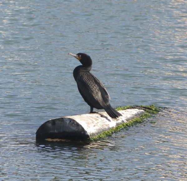 Pelagic Cormorant On A Half-Submerged Log