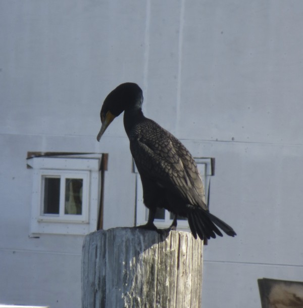 Pelagic Cormorant Perching On Piling