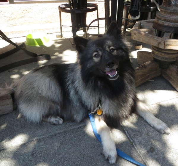Keeshond Grinning At The Camera