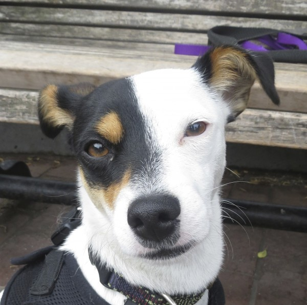 Mostly White Tricolor Jack Russell Terrier Mix
