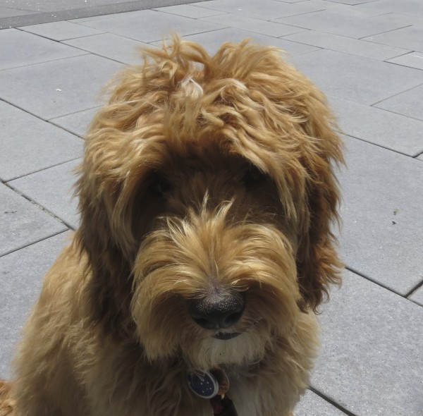 Apricot Labradoodle Looking Bashful