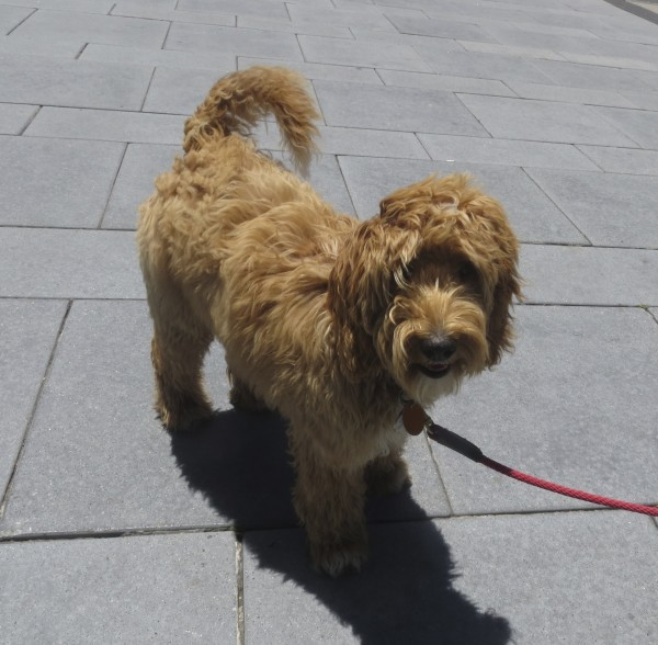 Apricot Labradoodle With White Tailtip and Chest