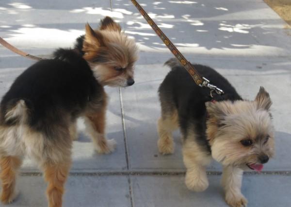 Two Yorkshire Terrier/Pomeranian Mixes