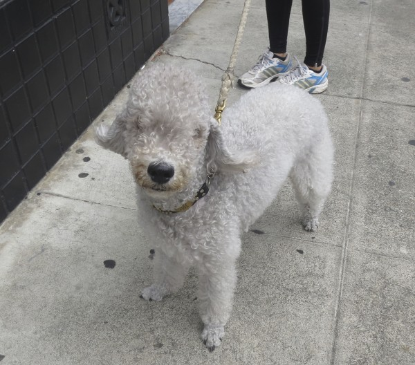 Gray Bedlington Terrier Looking At The Camera