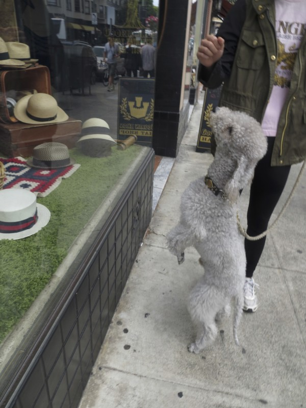 Grey Bedlington Terrier Looking In The Window Of A Hat Shop