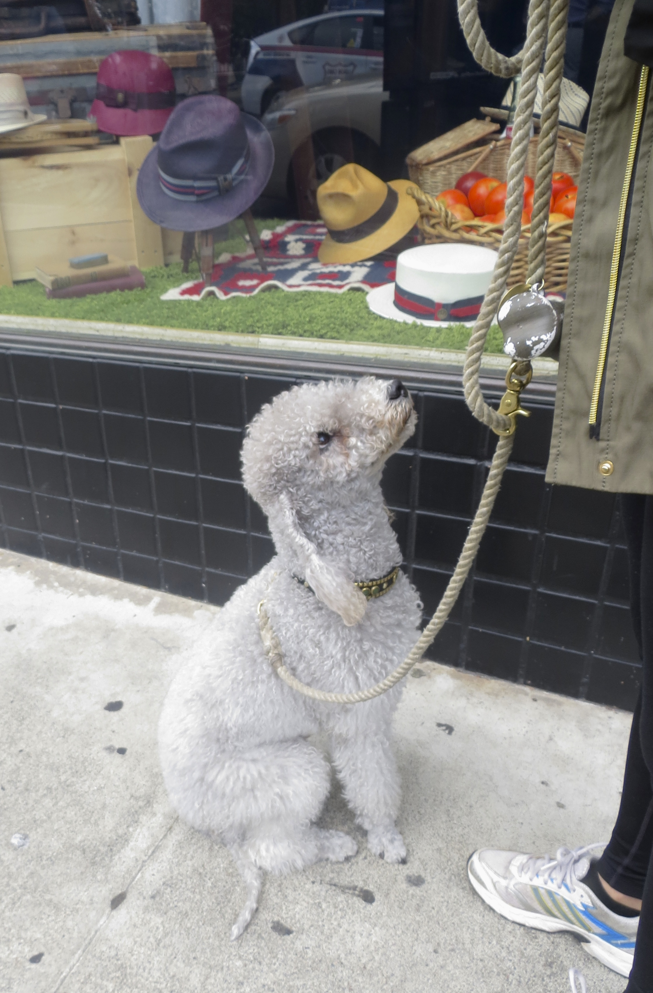 Grey Bedlington Terrier Sitting Obediently and Looking Up At His Owner