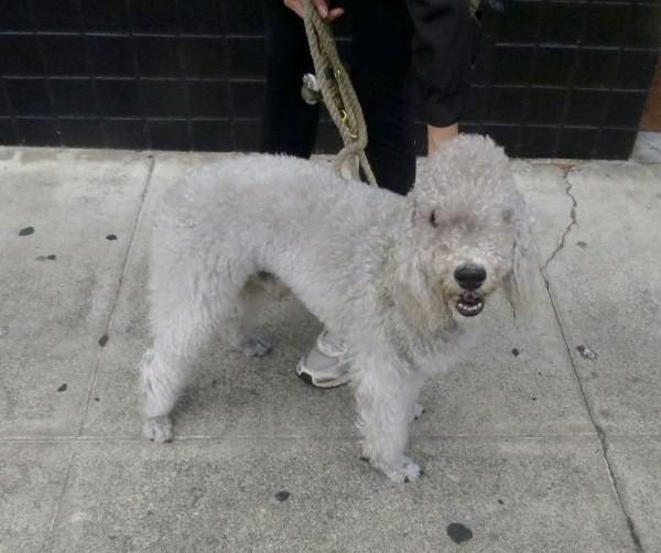 Grey Bedlington Terrier Smiling At The Camera