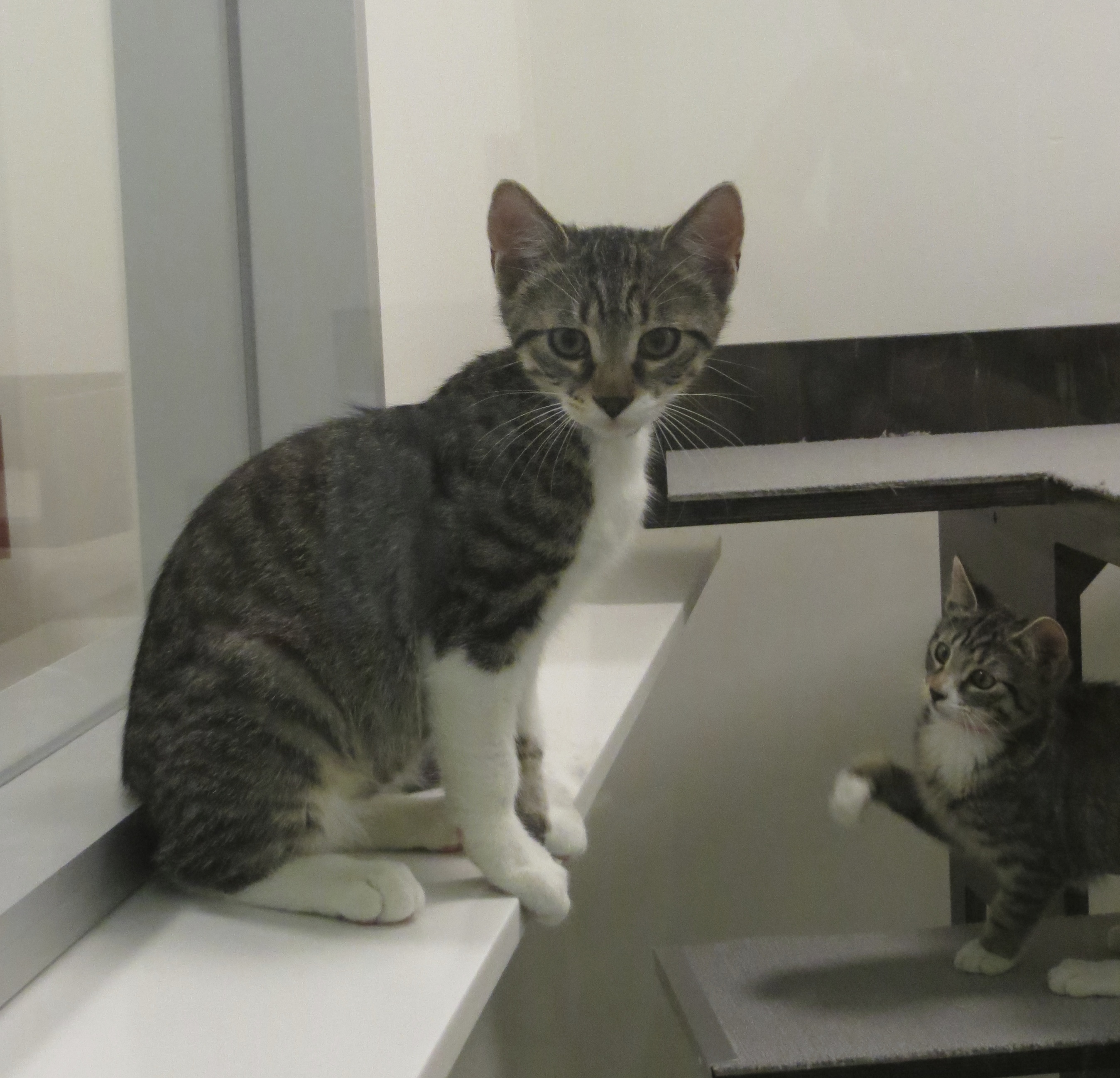 Two Grey Tiger Tabby Kittens
