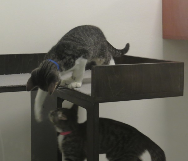 Two Grey Tiger Tabby Kittens Playing