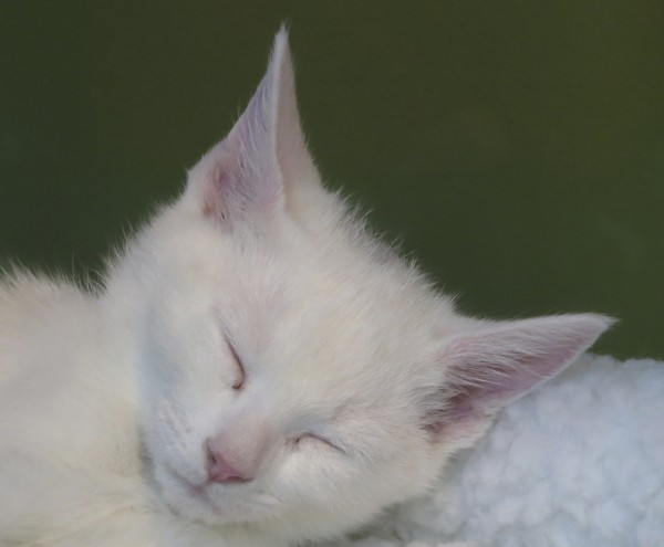 Snoozing White Kitten