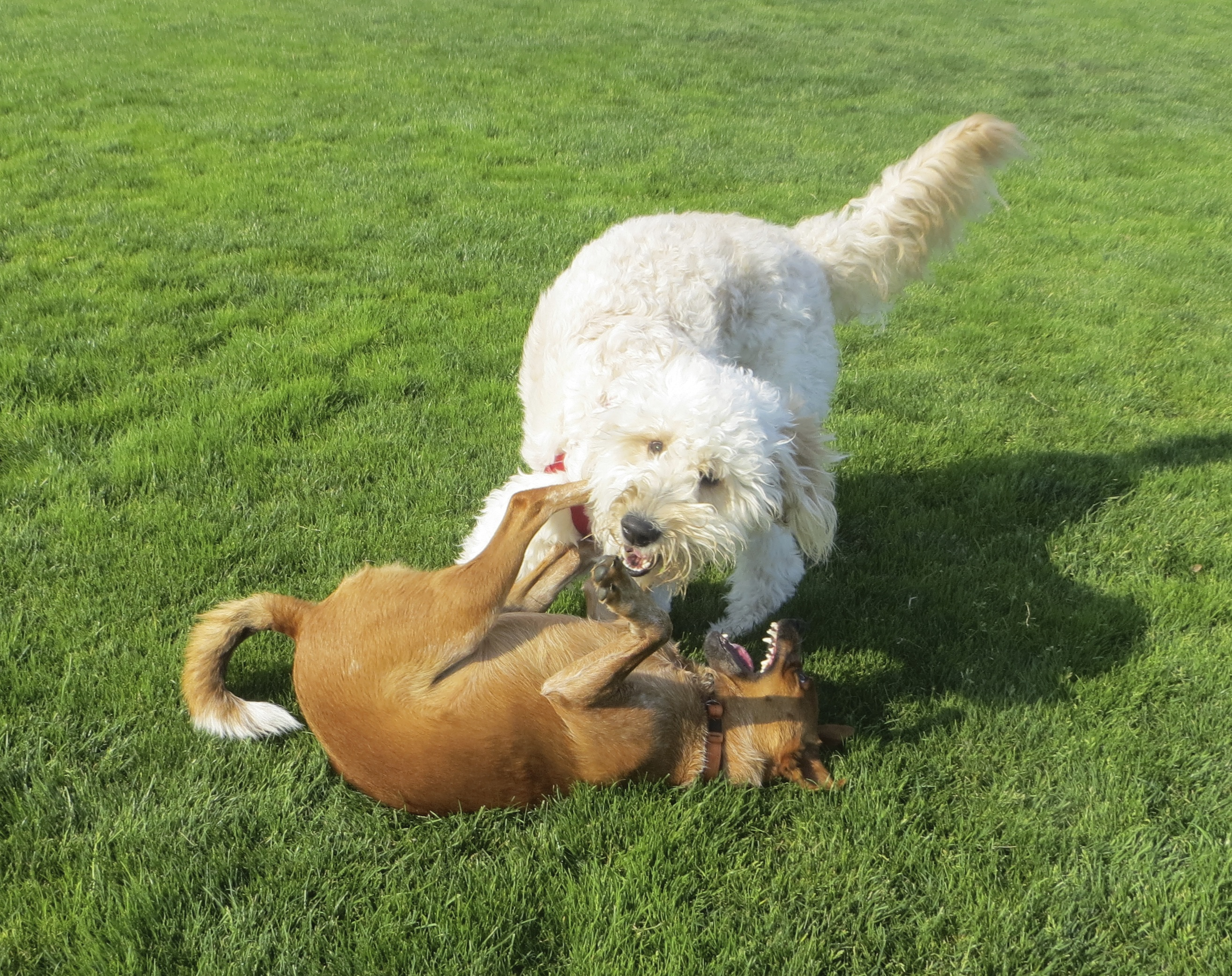 Brown Unknown Mixed Breed Dog and Very Light Goldendoodle Playing