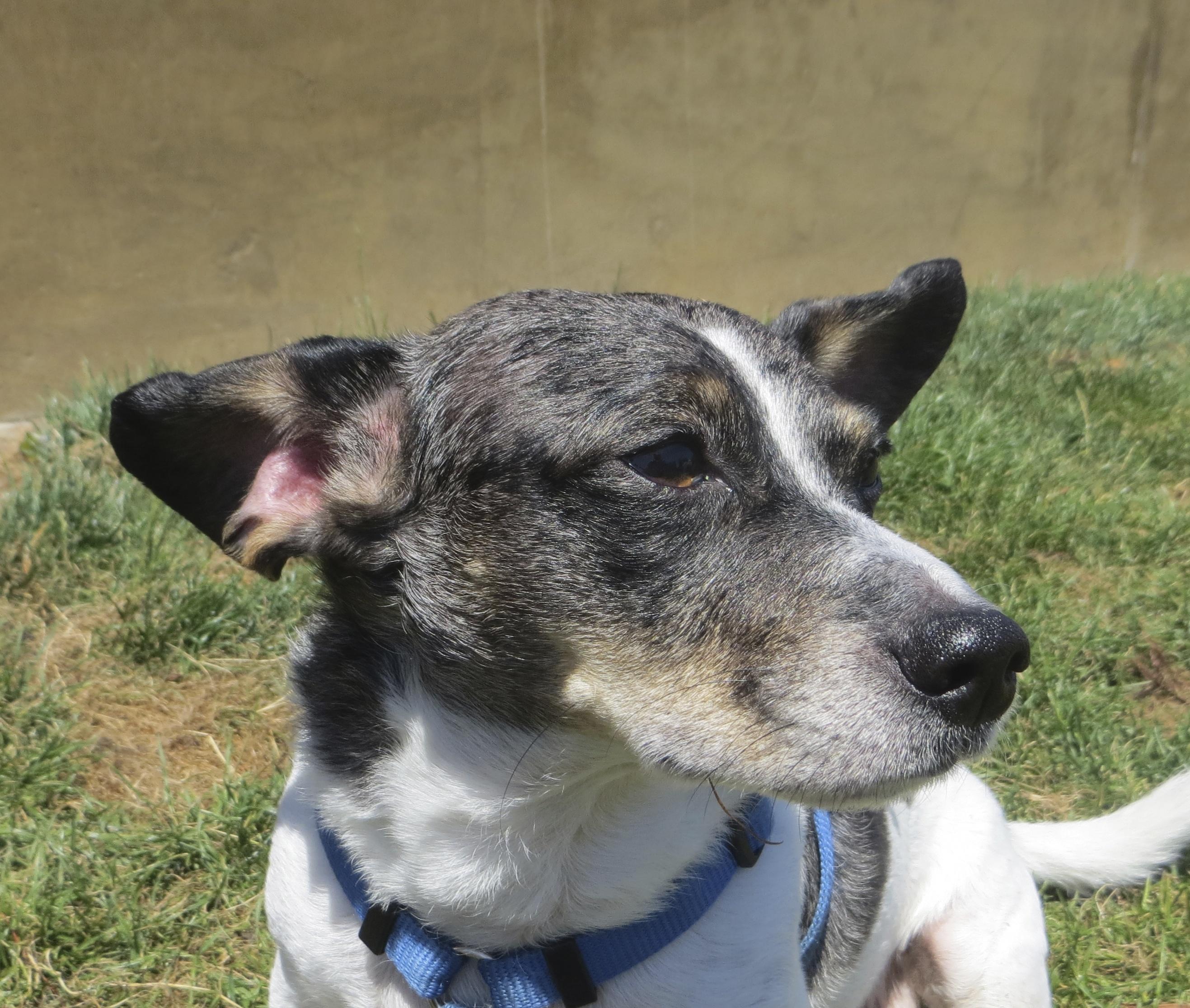 Cardigan Welsh Corgi/Jack Russell Terrier Mix