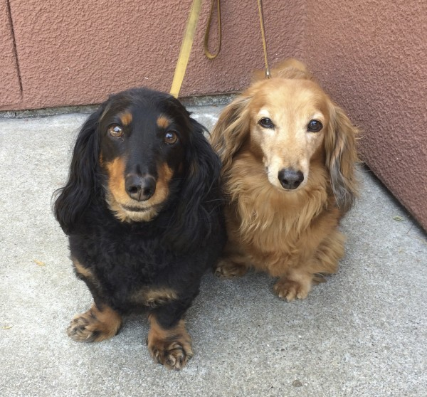 Black and Tan Long-Haired Miniature Dachshund and Fawn Long-Haired Miniature Dachshund Staring at the Camera