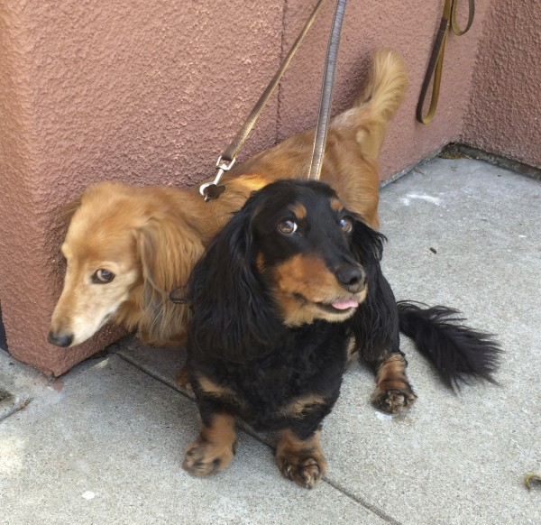 Black and Tan Long-Haired Miniature Dachshund Sticking His Tongue Out and Fawn Long-Haired Miniature Dachshund Rolling Her Eyes