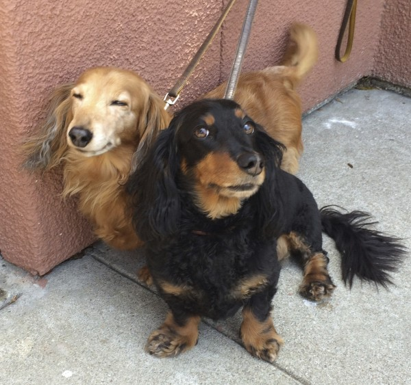 Black and Tan Long-Haired Miniature Dachshund Looking at the Camera and Fawn Long-Haired Miniature Dachshund Looking Happy and Goofy With Eyes Closed