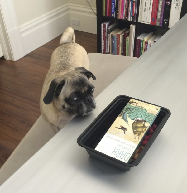 Pug Staring At A Chocolate Bar