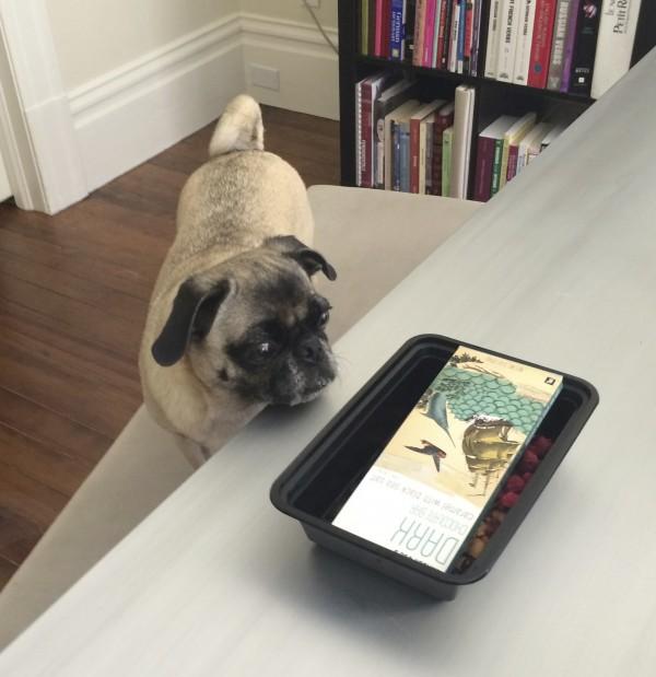 Pug Staring At A Chocolate Bar