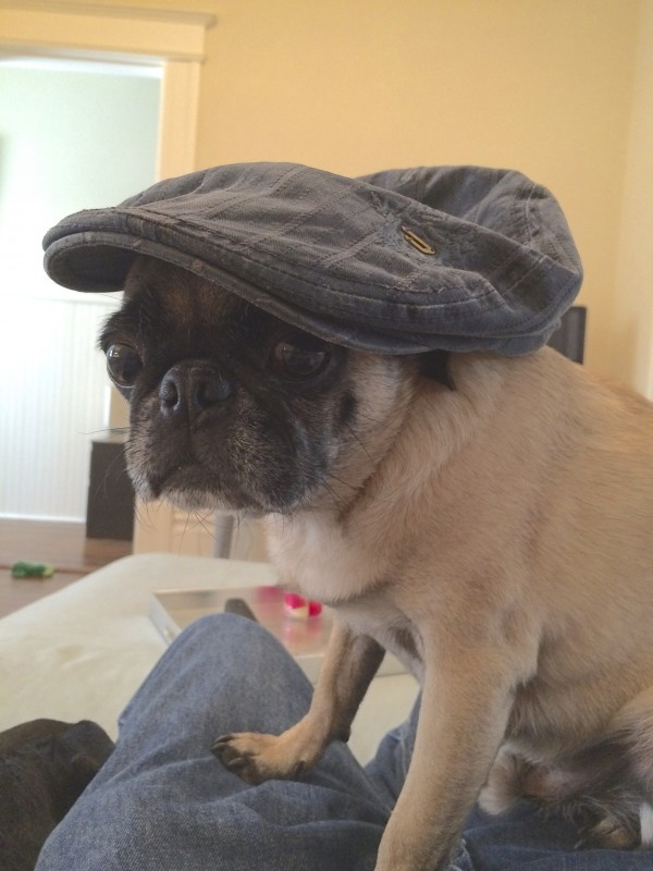Pug Wearing Blue Flat Cap