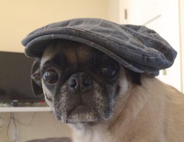 Pug Wearing Blue Flat Cap