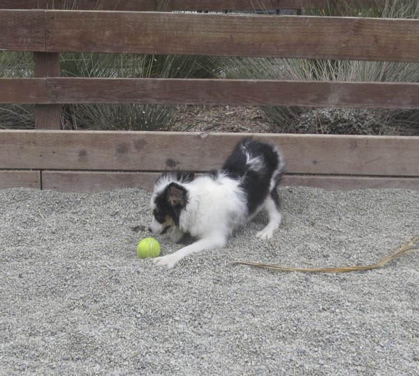 Tricolor Miniature Australian Shepherd Puppy Playing With A Ball