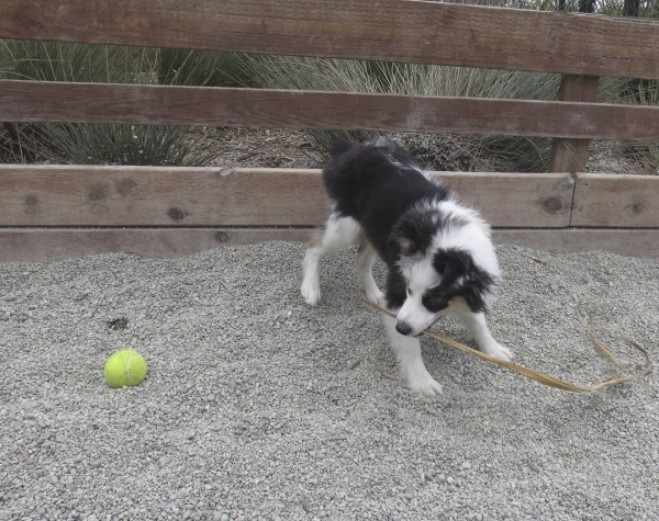 Tricolor Miniature Australian Shepherd Puppy Playing With A Stick And Looking At A Ball