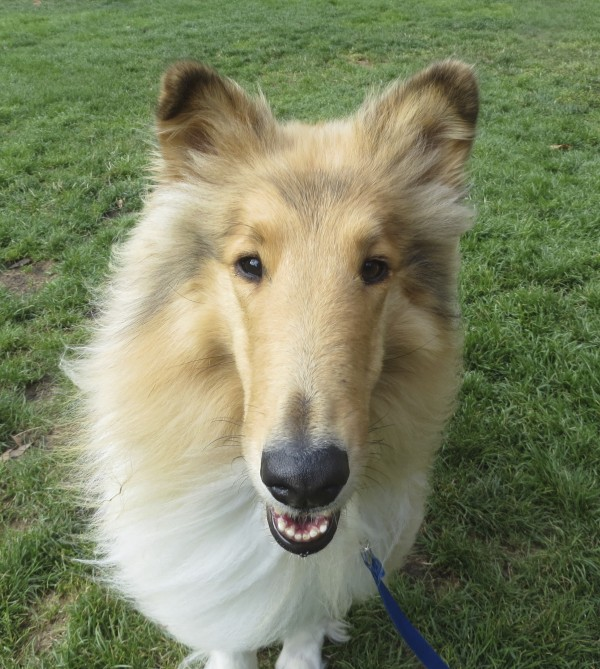 Smiling Rough Collie