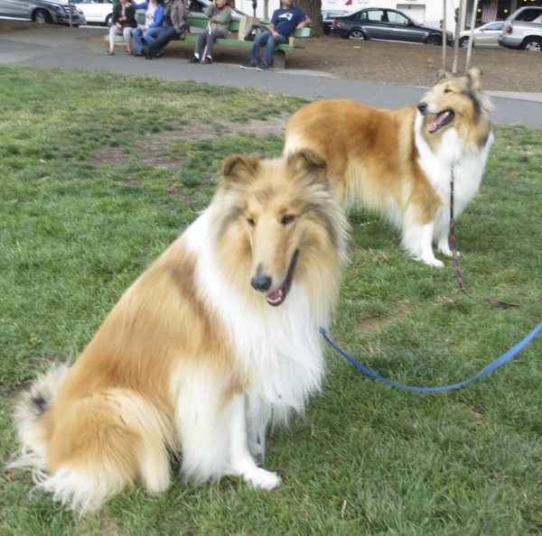 Two Gorgeous Rough-Coated Collies