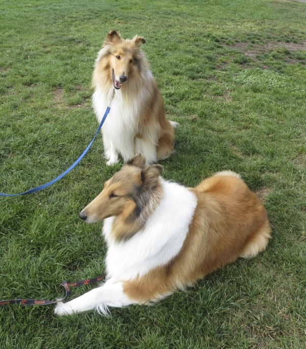 Two Floofy Adorable Beautiful Rough Collies