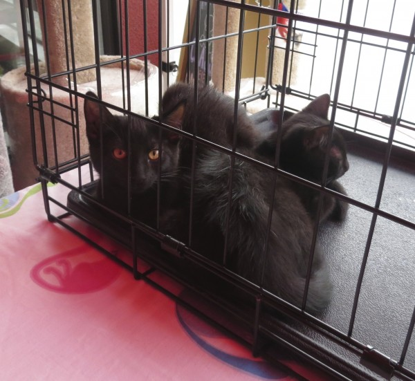 Two Black Kittens in a Cage