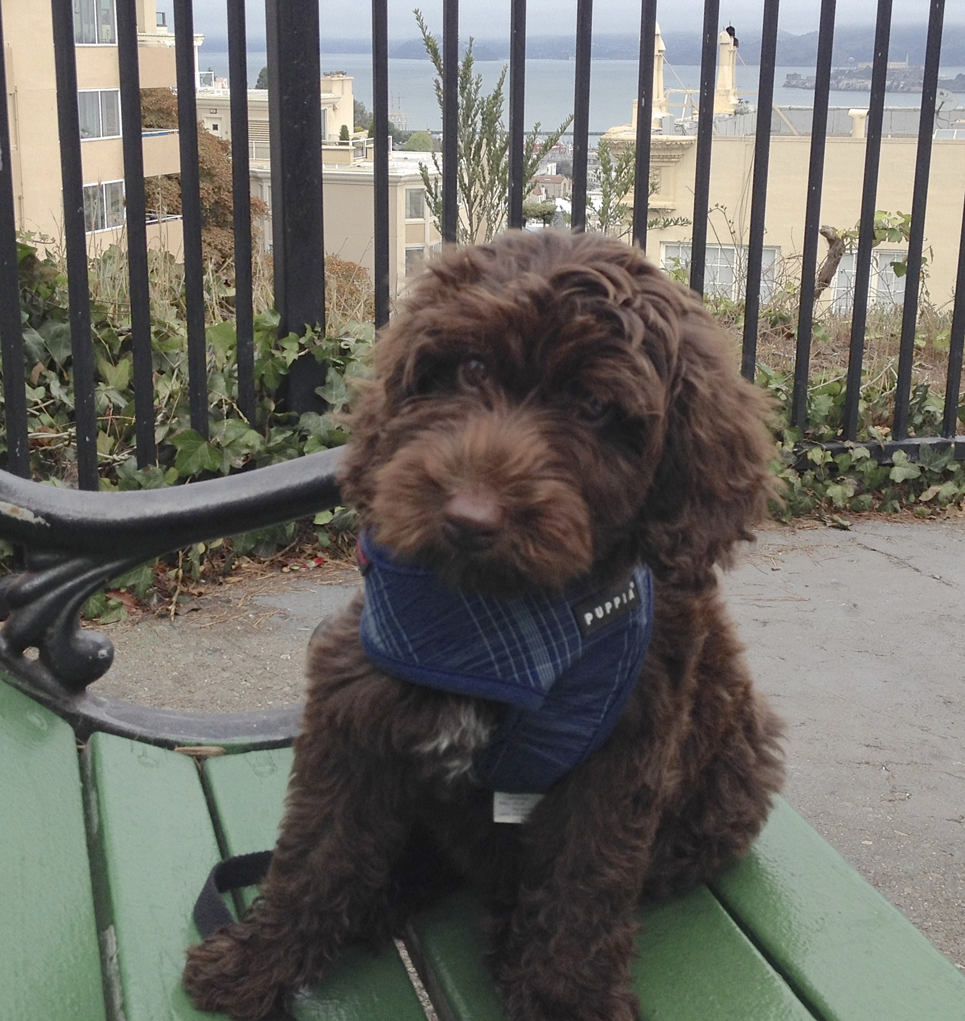 Brown Labradoodle Puppy On a Bench