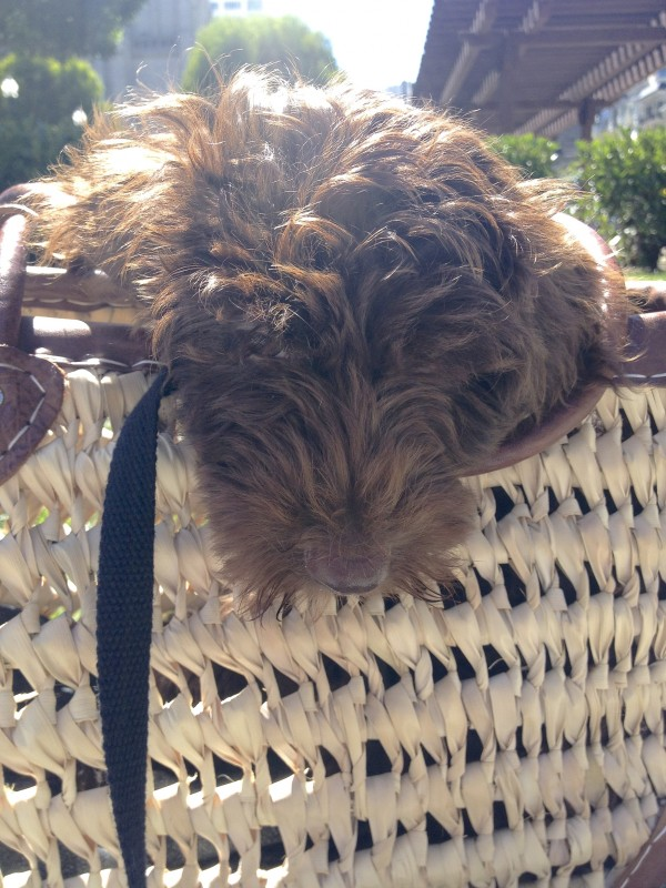 Brown Labradoodle Puppy in Handbasket